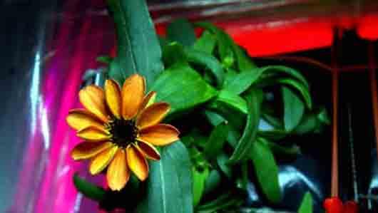 Глава семейства, к которому принадлежит первый цветок, распустившийся на МКС
