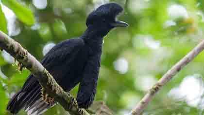 bychja-ptica-iz-tropicheskogo-lesa