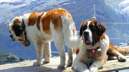 В каких горах были выведены собаки породы сенбернар