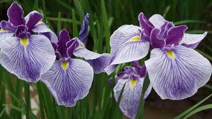 Как цветок ирис назывался в России до конца 19 века