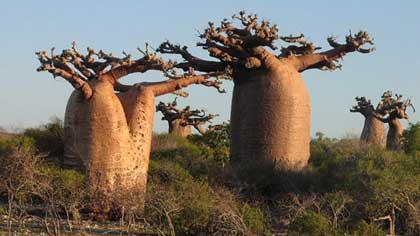 Что в ЮАР в 19 веке разместили в баобабе
