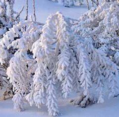 Снежное одеяние зимнего леса (9 букв)