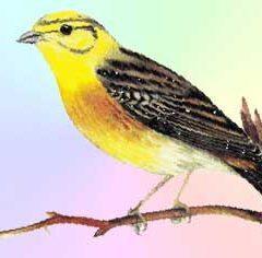 Желтая птичка (7 букв)